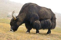 Tibetan  yak on pasture Stock Image