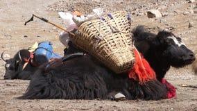 Tibetan yak resting on the ground. stock video