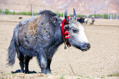 Tibetan yak Stock Photos