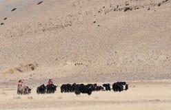 Tibetan yaks Stock Image