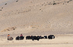 Tibetan yaks. Yaks in Western Tibet Stock Image