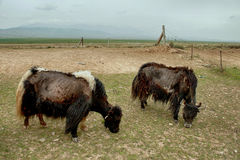 Tibetan Yaks grazing in Qinghai Royalty Free Stock Image