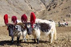 Tibetan yaks Royalty Free Stock Photography