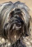 Tibetana Terrier ögon Royaltyfri Fotografi