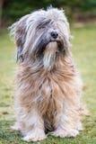 Tibetana Terrier Arkivfoton