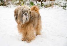 Tibetana Terrier hund i snön Royaltyfria Bilder