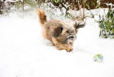 Tibetana Terrier hund som fångar bollen i snö Arkivfoton