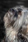 Tibetana Terrier monokrom Arkivbilder