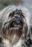 Tibetana Terrier näsa Arkivfoton