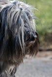Tibetana Terrier plats Fotografering för Bildbyråer