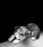 Tibetana Terrier som upp till ser, ser kameran Royaltyfria Foton