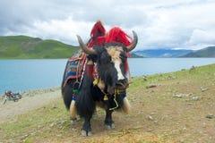 tibetana yak Royaltyfri Bild