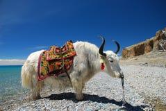 tibetana yak royaltyfri fotografi