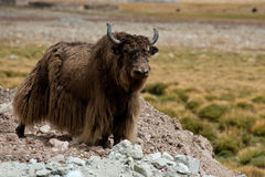 Tibetana Yak Arkivfoto