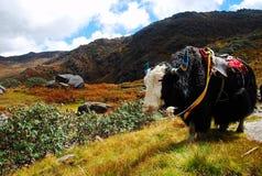 Tibetana Yak Arkivbilder