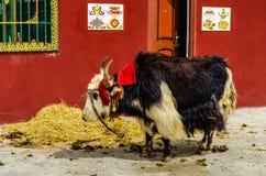 tibetana yak Arkivbild