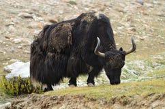 Tibetana yak betar på Arkivbild