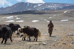 Tibetana Yak man efter hans grupp av yaks i himalayasna. Si Arkivbild