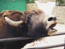 Tibetana yak som frågar för, äter i den Yalta zoo i Krim fotografering för bildbyråer