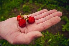 Tibetanische Erdbeeren Lizenzfreie Stockfotografie
