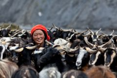 Tibetanische Frau mit Herde der Ziegen Stockfotografie