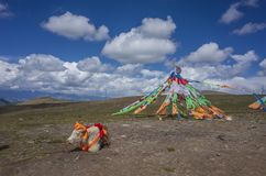 Tibetanische Gebetsflaggen und ein Yak in Qinghai, China lizenzfreies stockfoto