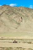 Tibetanische Nomaden, die mit ihren Pferden reisen Ladakh-` s Hochländer, lizenzfreie stockfotografie