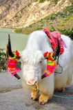 Tibetanische Yak stockbild