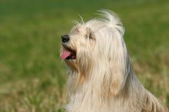 Tibetanischer Terrier Stockfoto