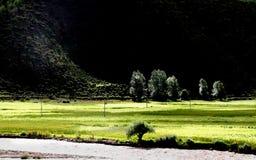 Tibetanischer Weizen Stockfotografie