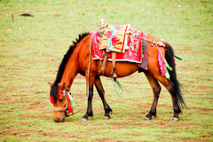 Tibetanisches Pferd Stockfotos