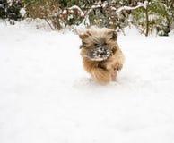 Tibetanisches Terrier-Hund, der in Schnee läuft Stockfotos
