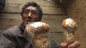 Tibetans are searching an selling matsutake in the Jidi village, sits in the center of the matsutake production area in Shangri-la royalty free stock photography