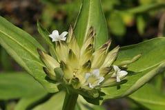 Tibetian植物 库存照片