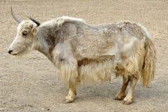 tibetian яки Стоковое фото RF