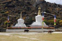 Tibetian krowy i stupas Zdjęcie Royalty Free