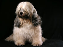 Tibetian Terrier Stockbild