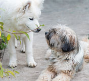 Tibetian terrier and samoyed Stock Photo