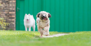 Tibetian terrier and samoyed Royalty Free Stock Photos