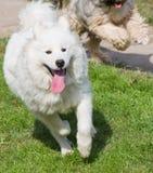 Tibetian terrier and samoyed Royalty Free Stock Photos