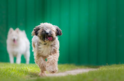 Tibetian terrier and samoyed Stock Photos