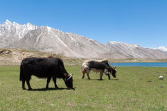 Tibetian yak ox cow bull grazing on mountain grass, leaving poop Royalty Free Stock Photography