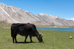 Tibetian yak ox cow bull grazing on mountain grass, leaving poop. Ladakh India stock photography