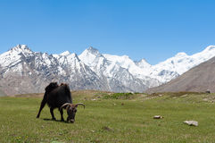 Tibetian yak ox cow bull grazing on mountain grass, leaving poop. Ladakh India stock image