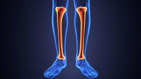 3D Illustration of Human Skeleton Tibia and Fibula Bones. The tibia /ˈtɪbiə/ plural tibiae /ˈtɪbii/ or tibias, also known as the shinbone or shankbone, is Royalty Free Stock Image