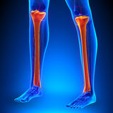 Tibia Anatomy Bones with Ciculatory System. With highlighted zone - pain concept Stock Photos