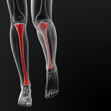 Tibia bone Royalty Free Stock Photos
