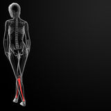 Tibia bone Royalty Free Stock Photography