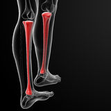Tibia bone Royalty Free Stock Images