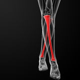 Tibia bone Royalty Free Stock Image